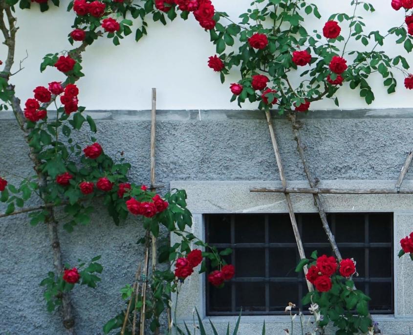 Rote Rosen vor Hausmauer